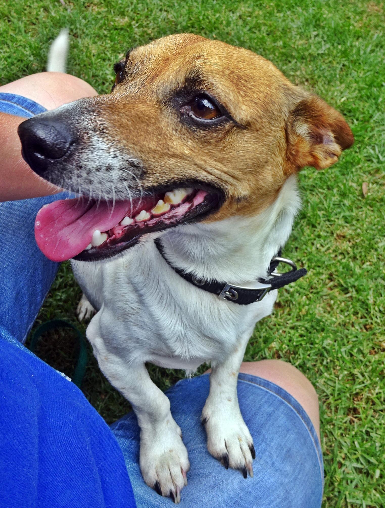 sponsor a rescue dog  u2013 jack russell rescue