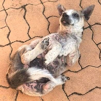 Jack Russell Rescue Saving Jacks Since 1993